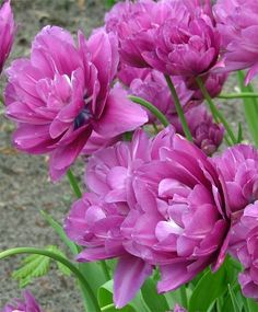 Peony Flowering Tulip Blue Spectacle--Blue Spectacle is an irresistible beauty with deep violet-purple flowers tinged with a blue sheen. It is a fully double, puffy flower that really resemblances the flower of a double herbaceous peony.