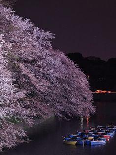 Light-up of cherry in the Chidorigafuchi. #sakura