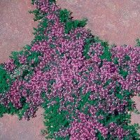 Callirhoe involucrata callirhoe involucrata low water plants thymus pink chintz pink chintz creeping thyme low water plants eco friendly landscapes perennial ground coverground mightylinksfo Image collections