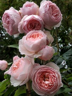 English Roses Heritage rose by David Austin - I grew these in my beds in Fort Worth and loved their beautiful flowers. Love Rose, Pretty Flowers, Pink Flowers, Pink Peonies, Colorful Roses, Exotic Flowers, Yellow Roses, Beautiful Roses, Beautiful Gardens