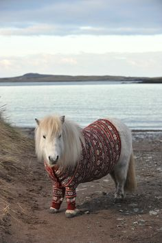 Les poneys font partie de la vie quotidienne des insulaires. Ils étaient parfaitement adaptés au travail souterrain dans les mines de charbon. Le Shetland est un animal vif: il demande un minimum d'expérience pour sa manipulation.