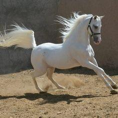 Persian Dareshuri horse