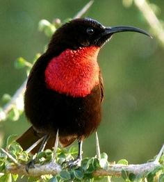 The Scarlet-chested Sunbird (Chalcomitra senegalensis) is a species of bird in the Nectariniidae family. It is found in Angola, Benin, Botswana, Burkina Faso, Burundi, Cameroon, Central African Republic, Chad, Democratic Republic of the Congo, Ivory Coast, Eritrea, Ethiopia, Gambia, Ghana, Guinea, Guinea-Bissau, Kenya, Malawi, Mali, Mauritania, Mozambique, Namibia, Niger, Nigeria, Rwanda, Senegal, Sierra Leone, South Africa, Sudan, Swaziland, Tanzania, Togo, Uganda, Zambia, and Zimbabwe.