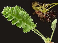 Geraniaceae.com : Details of Pelargonium schizopetalum......how's that for an unusual geranium.....