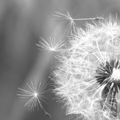 Dandelion photography black and white flower by bomobob on Etsy, $30.00