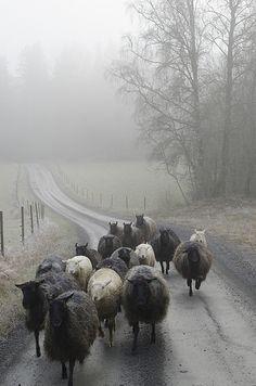 Får på väg (Sheep on the road), 2014. Elisabeth Fungby Jönsson