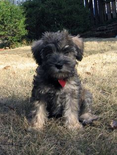 Cinni as a pup-a schnoodle