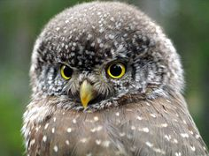 """Pygmy owl, These are mostly small owls & some of the species are called """"owlets"""" (term for baby owls), because of the size of some of the owls.  Most pygmy owl species are nocturnal & hunt mainly LG insects and other small prey."""