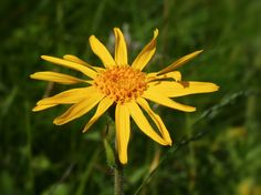 The #homeopathic #remedy Arnica Montana is a relative of the common #daisy.