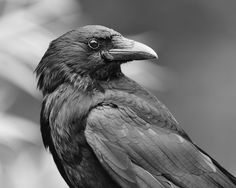 I thought I'd try some of my Crow pictures in B&W. Crow Pictures, Crow Photos, Crow Bird, Raven Art, Jackdaw, Crows Ravens, All Birds, Mundo Animal, Fauna