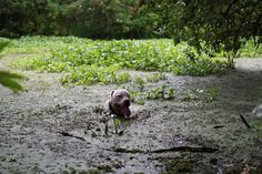 My doggo just chilling in the swamp.   http://ift.tt/2trcyoq via /r/dogpictures http://ift.tt/2sIgZ1b  #lovabledogsaroundtheworld
