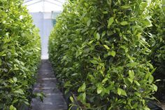 Ficus 'Tuffi' keeping nice and warm under cover. — at Twining Valley Nurseries.