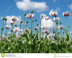 opium poppies drawing - Google Search