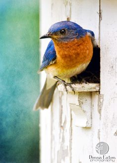 Bluebird - my daughter has 5 of these at her backyard bluebird box!!!!