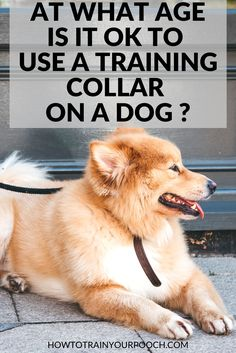 """Training collars can be one of the most useful tools for dogs that aren't responding to any other type of training. But you might be wondering """"At what age is it ok to use a dog training collar or e-collar? That's a question we answer in our dog collar Dog Training Equipment, Best Dog Training, Bark Collars For Dogs, Electronic Dog Collars, E Collar Training, Puppy Barking, Dog Shock Collar, Dog Ages, Buy A Dog"""