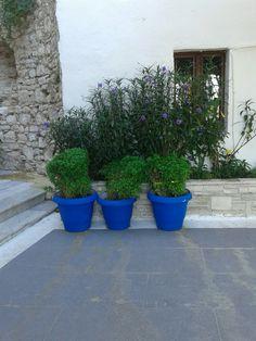 Three blue pots with basil