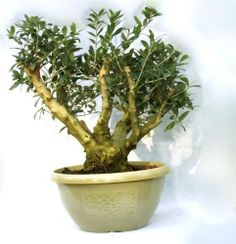 Mens Christmas Gifts, massive Bonsai Olive tree, Rare in the UK, With a Free Decorative, Stylish, cream plastic pot. Perfect as a Mens Christmas Gift. by Best4garden, http://www.amazon.co.uk/dp/B00G43XK90/ref=cm_sw_r_pi_dp_QseAsb1WN9GQG