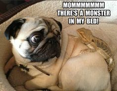 Get it out... #beardeddragon #pug