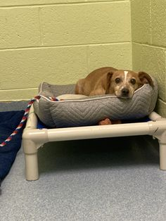 Cher is an adoptable dachshund searching for a forever family near East Hanover, NJ. Use Petfinder to find adoptable pets in your area. Dachshund Adoption, Mini Dachshund, Dachshund Puppies, East Hanover, Cher, Animal Shelter, Searching, Pets, Animals