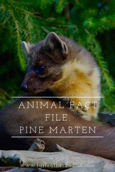 The European pine marten is one of Britain's native carnivores. Find out more about this elusive animal in our latest fact file. Animal Fact File, Animal Facts, Pine Marten, Turn Blue, British Wildlife, Red Squirrel, Red Fox, Otters, Predator