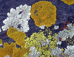 lichens | Community Lichens is in the Sawtooth Mountains (photo by Mark Dimmitt)