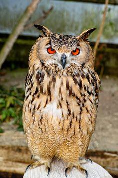 rock-eagle-owl