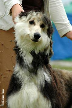 domino afghan hound