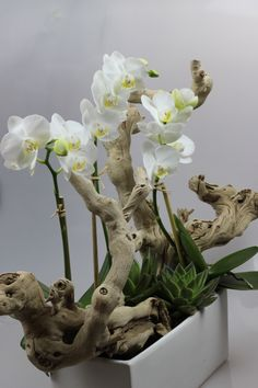 Pretty white phalaenopsis orchids and driftwood Hübsche weiße Phalaenopsis Orchideen und Treibholz Ikebana, Orchid Flower Arrangements, Orchid Centerpieces, Orchids Garden, Orchid Plants, Exotic Flowers, Beautiful Flowers, Planting Succulents, Planting Flowers