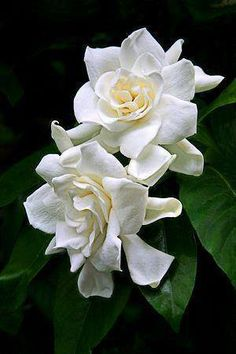 ¨´*✿*´¨ Gardenias...such a beautiful flower!