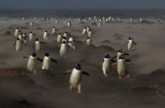 A penguin colony makes its way back across a sea sprayed landscape, in Returning from the hunt, by Michael Lohmann. The image won Birds category runner-up and prize of the jury