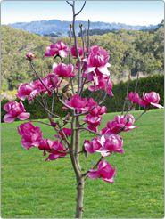 Magnolia Tree Magnolia Burgundy Star Jury Magnolia Trees