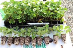Strawberry Plugs: How to plant and grow strawberry plugs