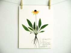 This listing is for a print of my original Black Eyed Susan herbarium specimen pressed botanical artwork and is part of my Colorado Collection!  It was made from a high-resolution scan and is printed on natural (light ivory) colored heavy-weight acid-free cardstock for archival quality.  This specimen features this plants pretty golden colored ray flowers and dark center, its green leaves and roots. I found this little beauty in a flower filled riverside meadow in the mountains of Colorado…