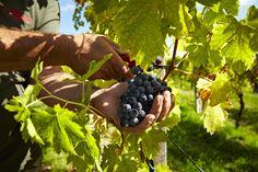 Picking grapes, Allegrini, Valpolicella Italy, Fumane, Veneto