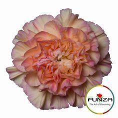 Carnation 'Gioa'