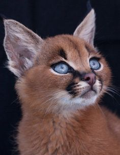 Wow!!! Beatyful CARACAL!