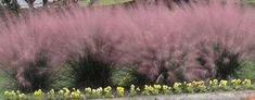 Pink muhly grass in early fall is one of my favorites! Need to plant on the bank