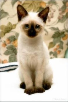 How could one have a kitten all the time? I can't stand these pictures! Makes me want to find a breeder instantly!