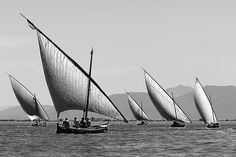 Regatta of traditional latin rigged Albufera (Valencia) boats
