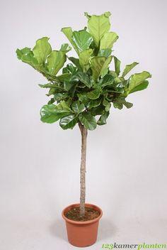 Ficus Lyrata op stam (Tabaksplant) (vioolbladplant)