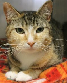 ADOPTED>Intake: 5/15 Available: 5/21 NAME: Violet  ANIMAL ID: 27840956 BREED: DSH  SEX: Female  EST. AGE: 1 yr  Est Weight: 7.2 lbs  Health:  Temperament: Friendly  ADDITIONAL INFO:  RESCUE PULL FEE: $39