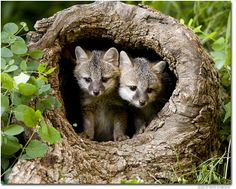 Gray Fox | here is a pair of grey fox pups or kits i had to do a google search to ...