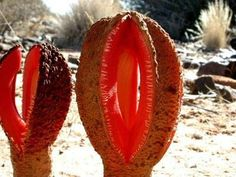Hydnora africana: an unusual melon-colored, parasitic flower that attacks the nearby roots of shrubbery in the arid deserts of South Africa. The putrid-smelling blossom attracts herds of carrion beetles. Strange Flowers, Unusual Flowers, Wonderful Flowers, Rare Flowers, Weird Plants, Unusual Plants, Rare Plants, Exotic Plants, Alien Plants
