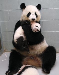CONGRATULATIONS! | This Panda Mom Is Adorably Obsessed With Her Babies