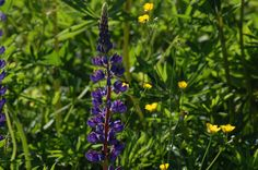 Lupines and buttercups are two of the common wildflowers of New England (U.S.). I think they make a nice combination together. Do you like blue and yellow combinations? See more wildflowers in my full photo gallery: http://landscaping.about.com/od/colorfulflowers/ig/types-of-wildflowers/