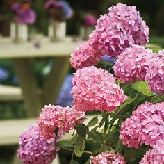 The Trick to Changing Your Hydrangea Color