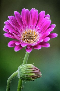 Gerbera Daisy Photograph - In Bloom by Robert Fawcett Beautiful Flowers Pictures, Amazing Flowers, Pretty Flowers, Exotic Plants, Exotic Flowers, Gerbera Flower, Gerbera Daisies, Cute Photography, Flower Photography