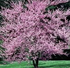 Going to find the perfect flowering tree for the back yard!