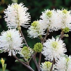 """Mount Airy Fothergilla """"marvelous honey scent"""" x white spring blooms and fall foliage color. White Flowering Shrubs, Trees And Shrubs, Gardenias, White Flowers, Beautiful Flowers, Exotic Flowers, Fall Flowers, Tropical Flowers, Spring Hill Nursery"""