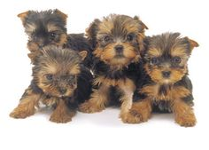 www.yorkie pictures   Le Yorkshire Terrier